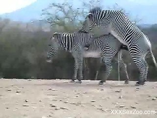Nice to see how two gorgeous and wild zebras are fucking in de...