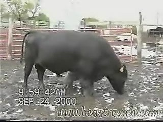 Thick-ass black cow looking sexy, flaunting its body