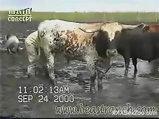 Guy feels horny when taping this bull on cam