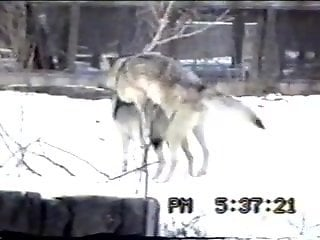 Wolves fucking make this horny zoo lover horny