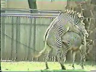 Two zebras enjoying hardcore fucking outdoors