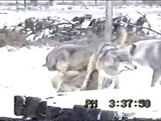 Voyeur video focusing on wolves that love hard sex