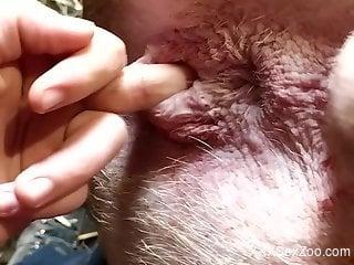Horny farmer fingering pig's pink little pussy